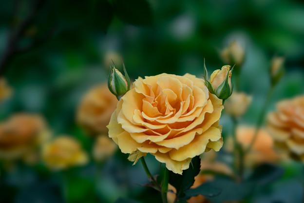 YEG【薔薇:インドラ】4