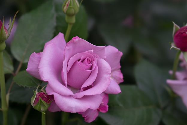 YEG【薔薇:ネプチューン】