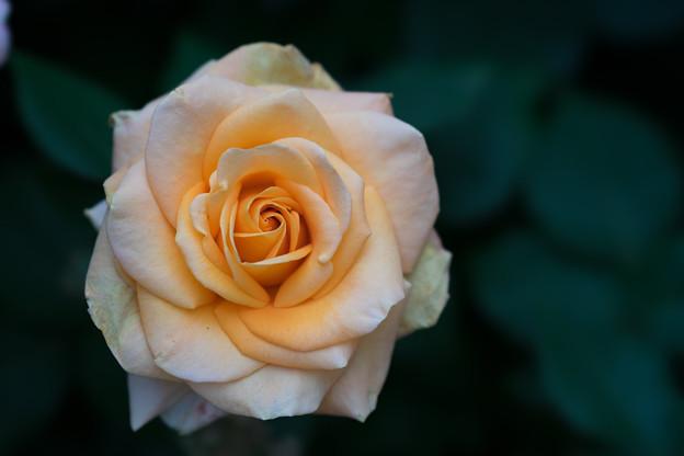 YEG【薔薇:ゴールデン・オールディ】