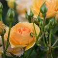 YEG【薔薇:アンゲリカ】