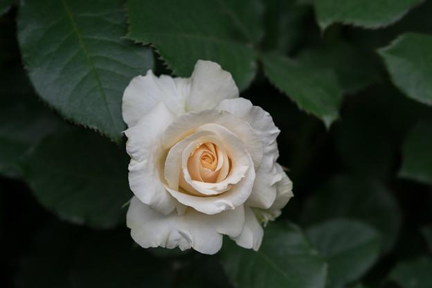 YEG【薔薇:アドリアーナ】