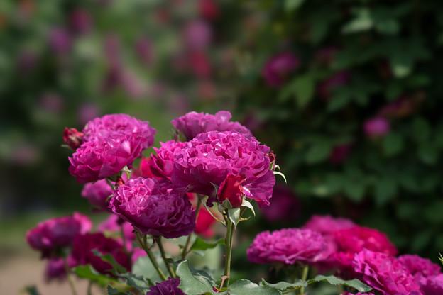 YEG【薔薇:ベルベティ・トワイライト】