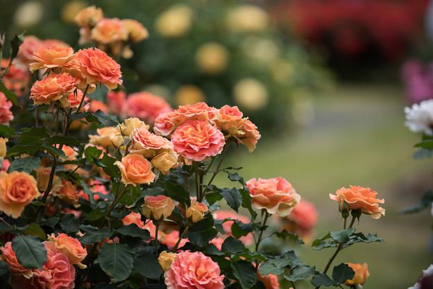 大船植物園【薔薇:ブラスバンド】2