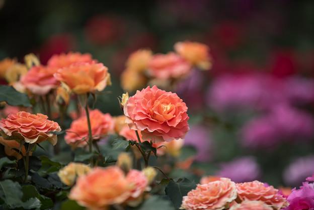 大船植物園【薔薇:ブラスバンド】3