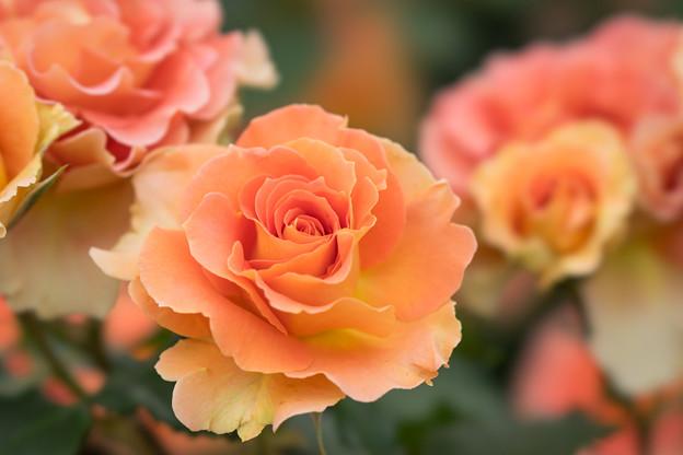 大船植物園【薔薇:ブラスバンド】5