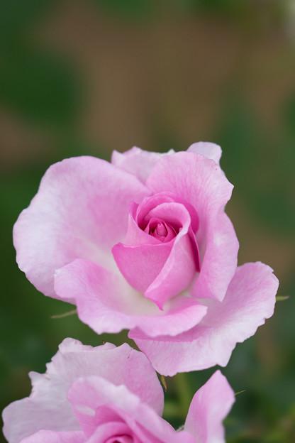 大船植物園【薔薇:コティリオン】3