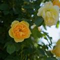 生田緑地ばら苑【薔薇:グラハム・トーマス】4