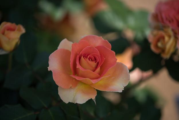 谷津バラ園【薔薇:ブラスバンド】1