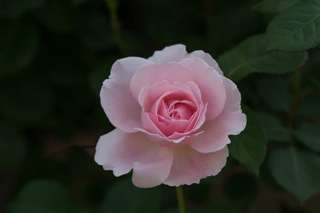 谷津バラ園【薔薇:マグレディス・イエロー】2