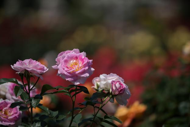 谷津バラ園【薔薇:春の舞】