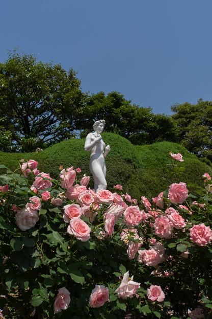 谷津バラ園【薔薇:ブライダル・ピンク】1