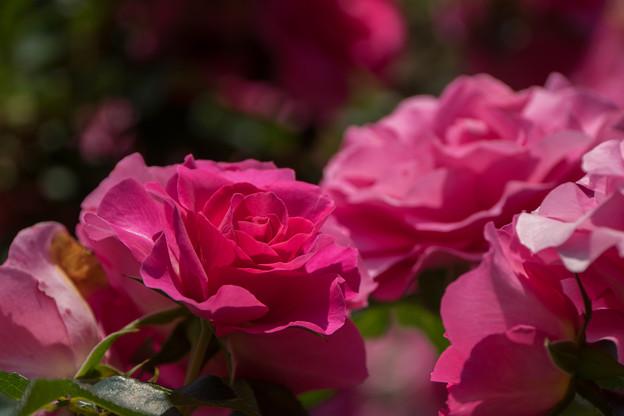 谷津バラ園【薔薇:うらら】2