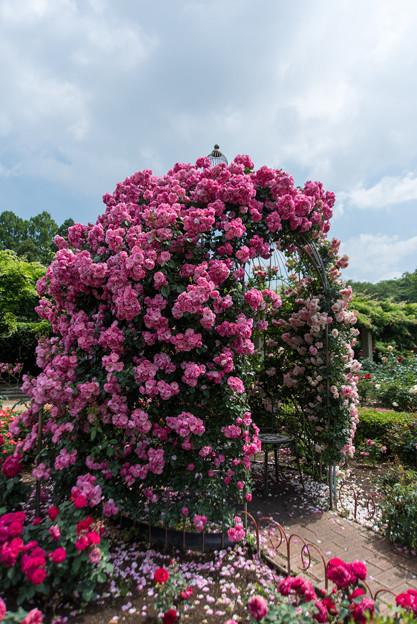 神代植物公園【薔薇:アンジェラ】