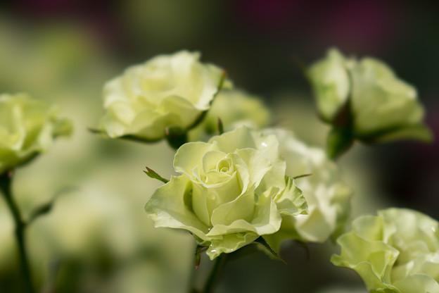 神代植物公園【薔薇:緑光】