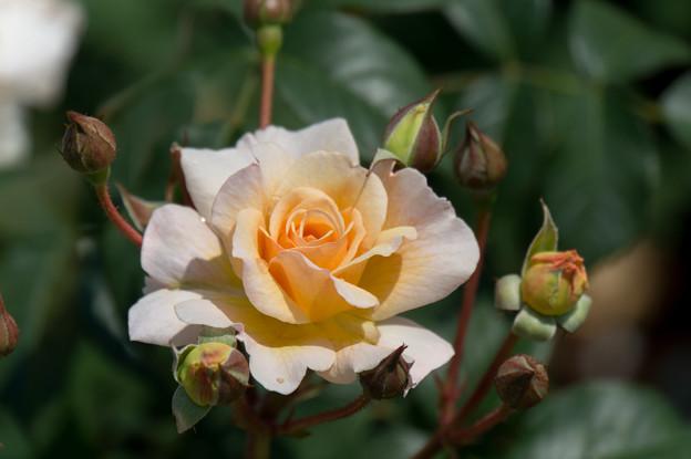 神代植物公園【薔薇:ムーン・スプライト】