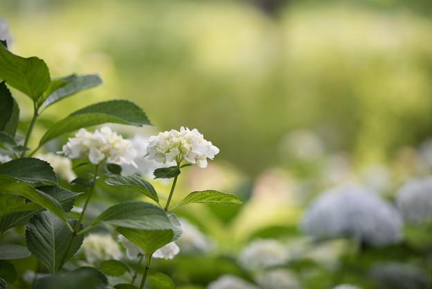 相模原北公園の紫陽花【インマクラータ】3