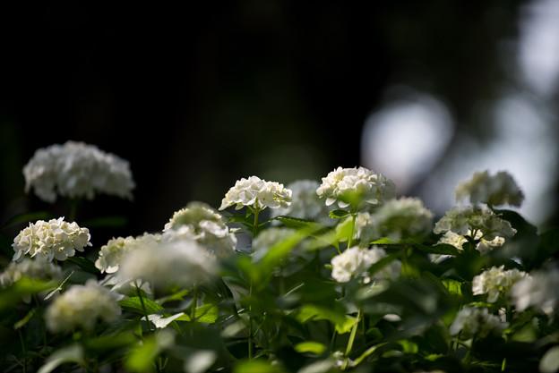 相模原北公園の紫陽花【インマクラータ】4