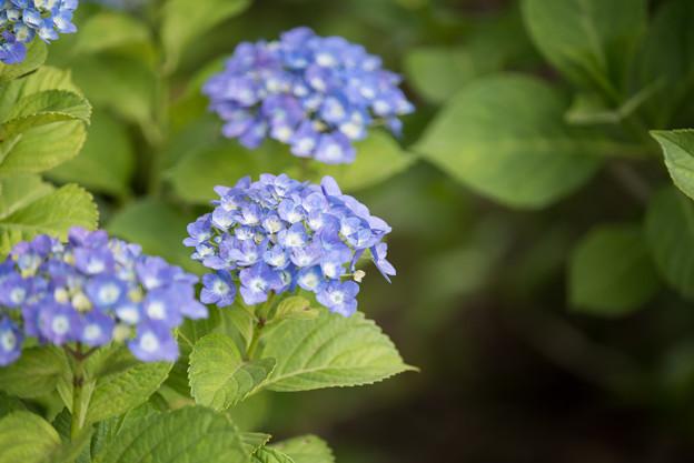 相模原北公園の紫陽花【マリンブルー】1