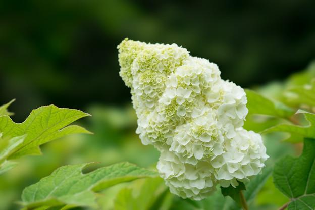 相模原北公園の紫陽花【ハーモニー】2