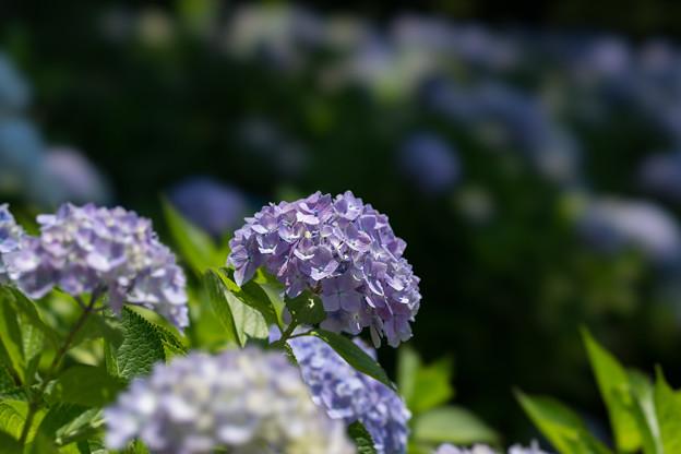 薬師池公園【青系紫陽花】3
