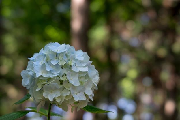 薬師池公園【白系紫陽花】2