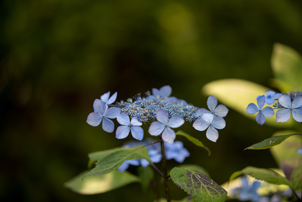 薬師池公園【紫陽花:クロヒメアジサイ】