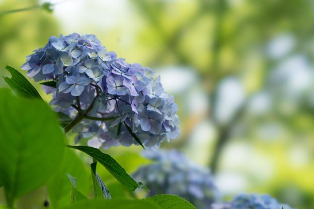 浄慶寺【青紫陽花】3