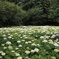 相模原北公園の紫陽花【アナベル】4