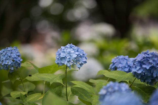 相模原北公園の紫陽花【ヒメアジサイ】2
