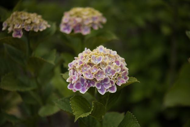相模原北公園の紫陽花【レナータ】