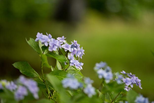 昭和記念公園【青色の額紫陽花】2
