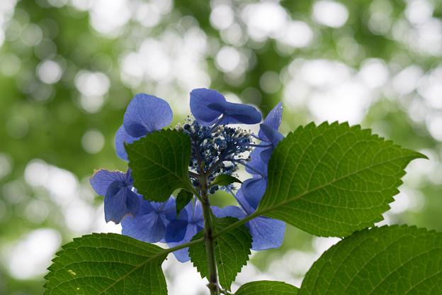 昭和記念公園【青色の額紫陽花】6