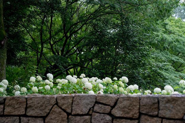 昭和記念公園【紫陽花:アナベル】3