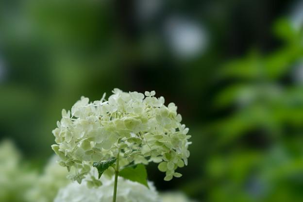 昭和記念公園【紫陽花:アナベル】4