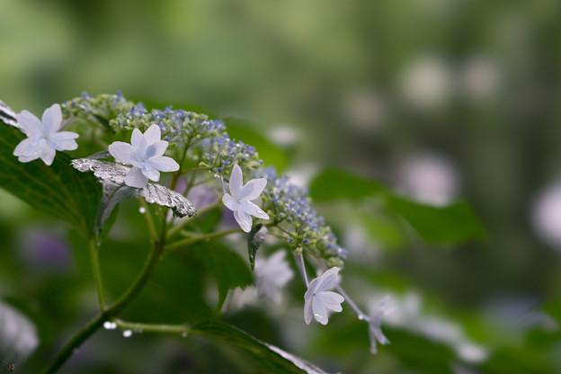 昭和記念公園【白色の額紫陽花】3