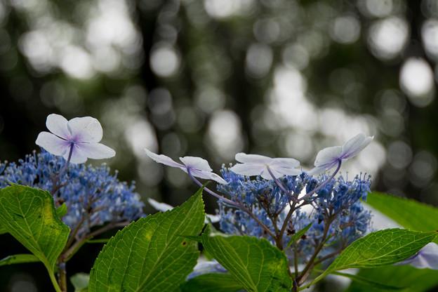 昭和記念公園【白色の額紫陽花】5