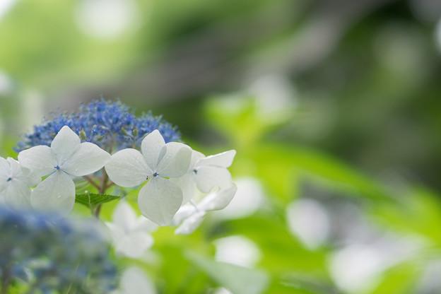 昭和記念公園【白色の額紫陽花】6