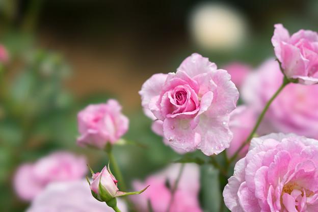 大船植物園【薔薇:コティリオン】