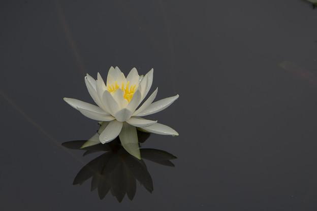 大船植物園【スイレン】4