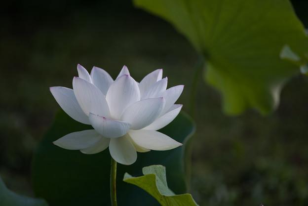 中井蓮池の里【白系の蓮】2