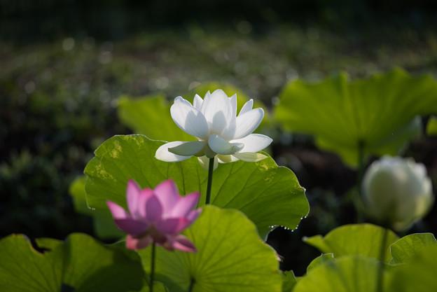 中井蓮池の里【白系の蓮】3