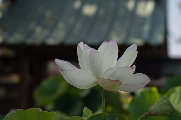 松雲山要法寺【白系の蓮】4