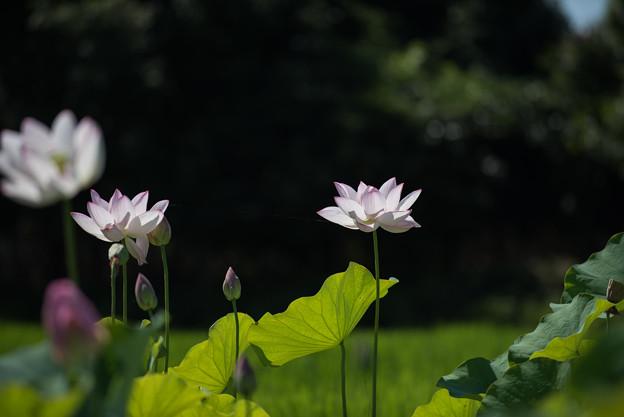 花菜ガーデン【田んぼたんぼの蓮】1-1