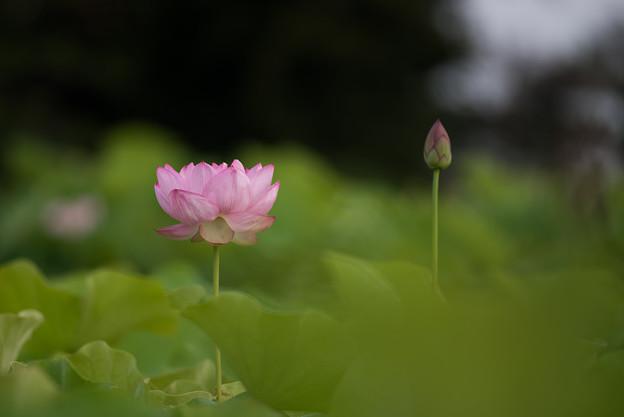 【小山田神社の蓮】2-4