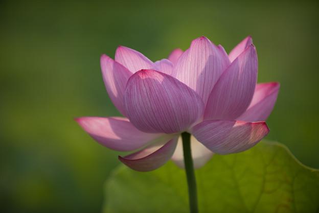 【小山田神社の蓮】2-6