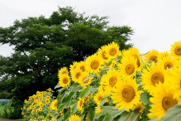 【座間栗原会場のヒマワリ】4