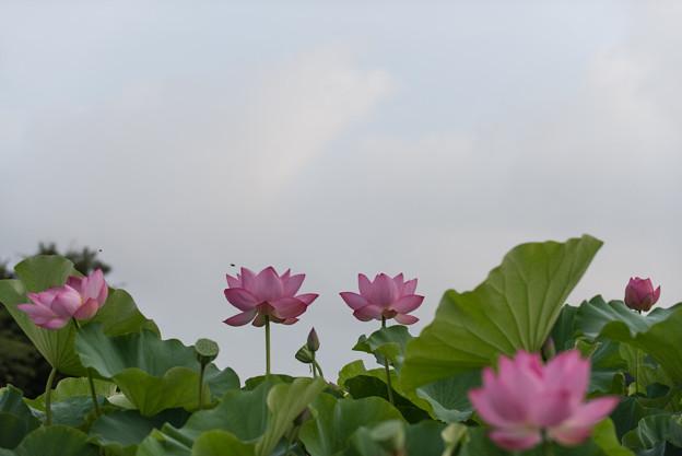 【小山田神社の大賀蓮】1-5