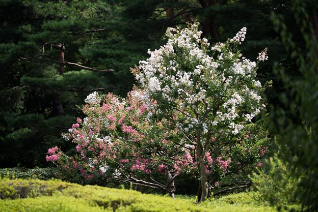 神代植物公園【サルスベリ】1