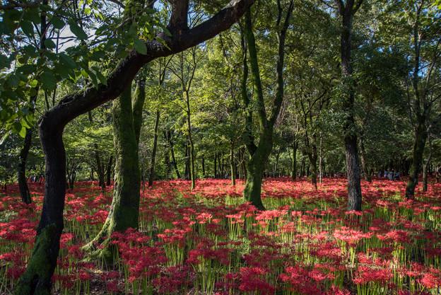 巾着田【赤い絨毯】1