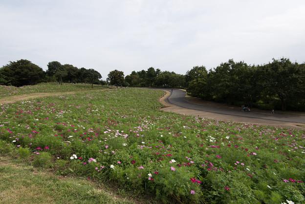 昭和記念公園【花の丘のコスモス:ドワーフ・センセーション】広角1